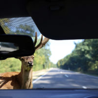 deer crossing almost gets in accident with car